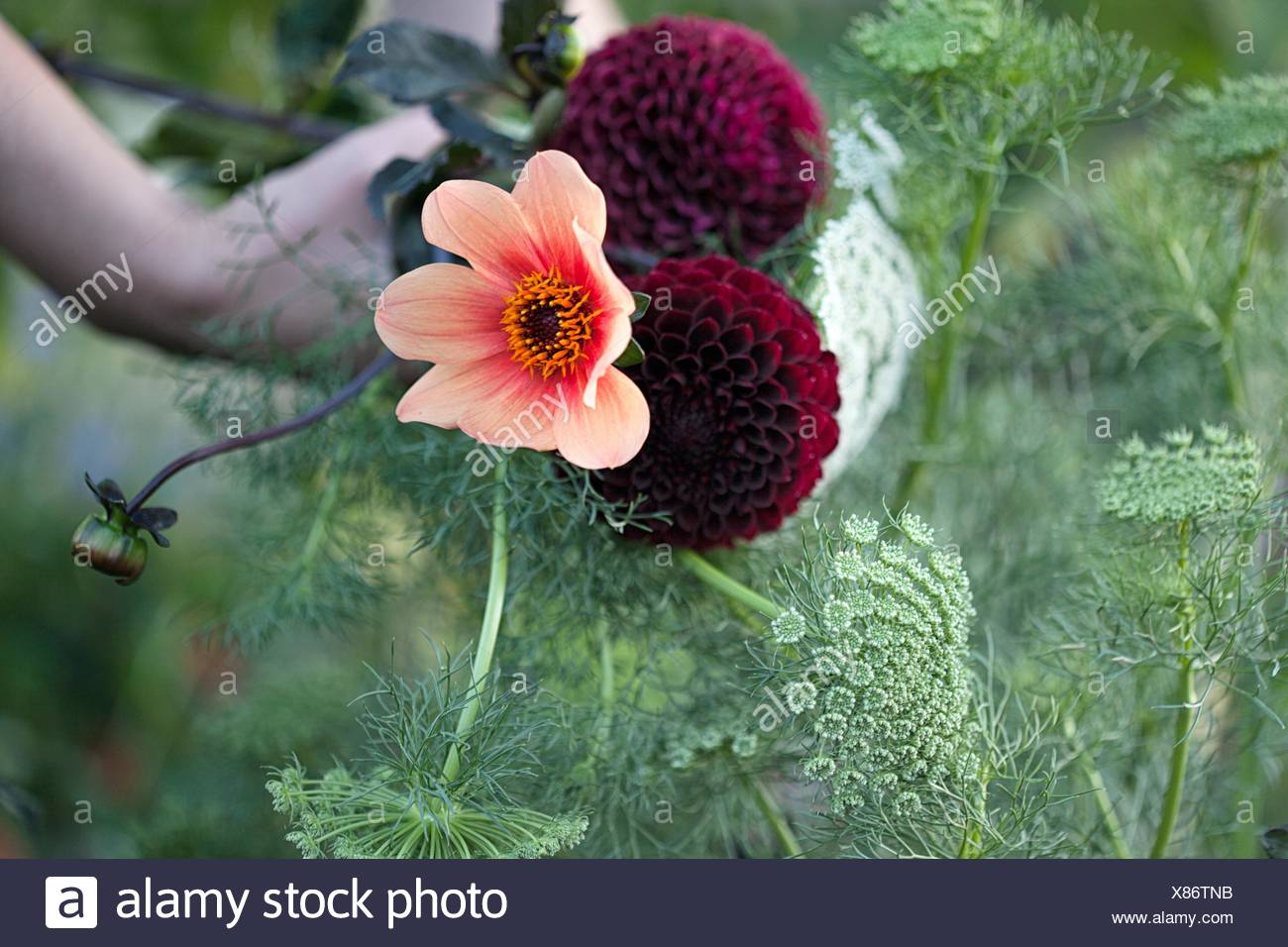 Womans hand holding fresh flowers and ferns at allotment - Stock Image