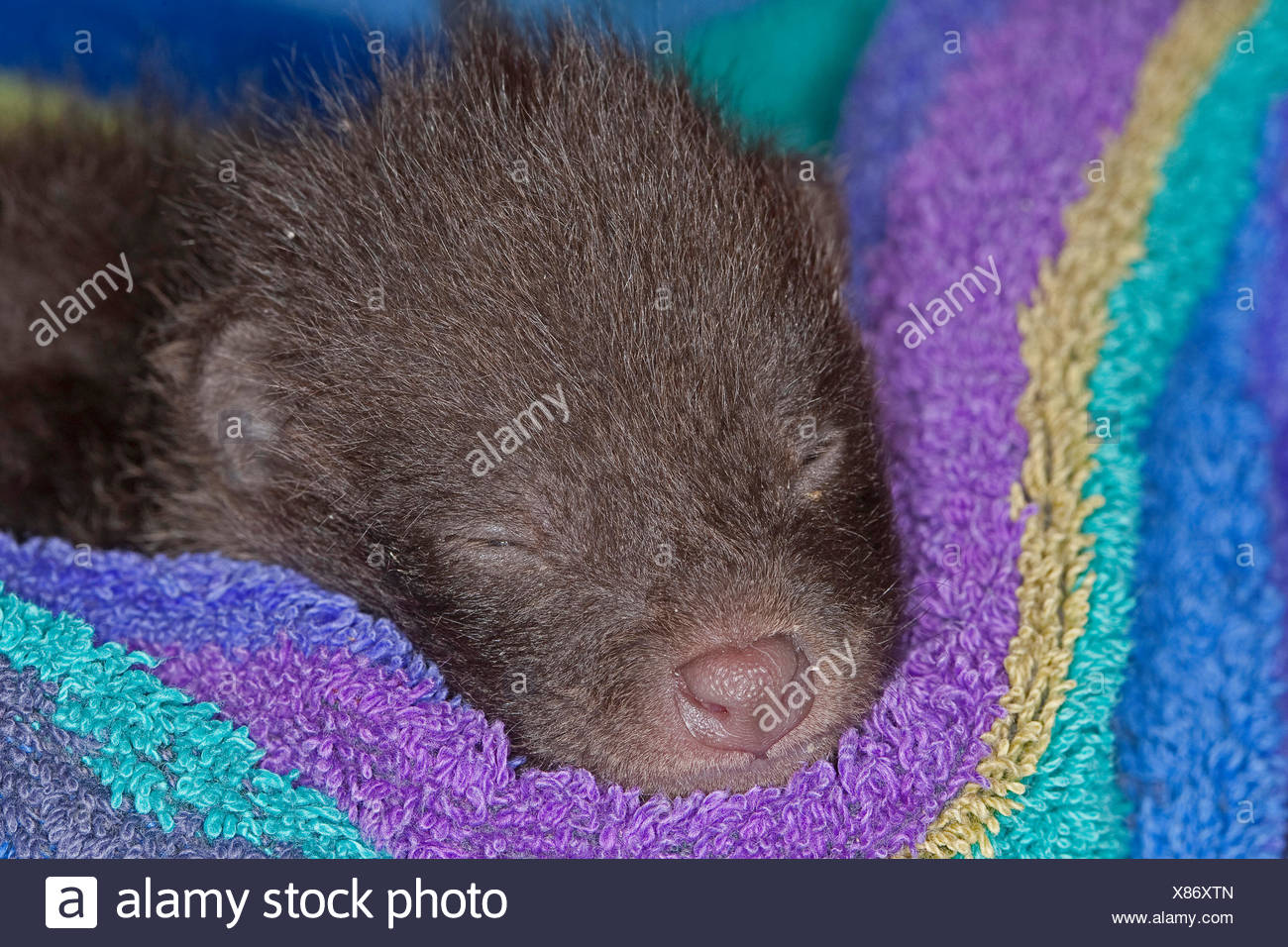 raccoon dog (Nyctereutes procyonoides), orphaned puppy sleeping in a towel, Germany - Stock Image