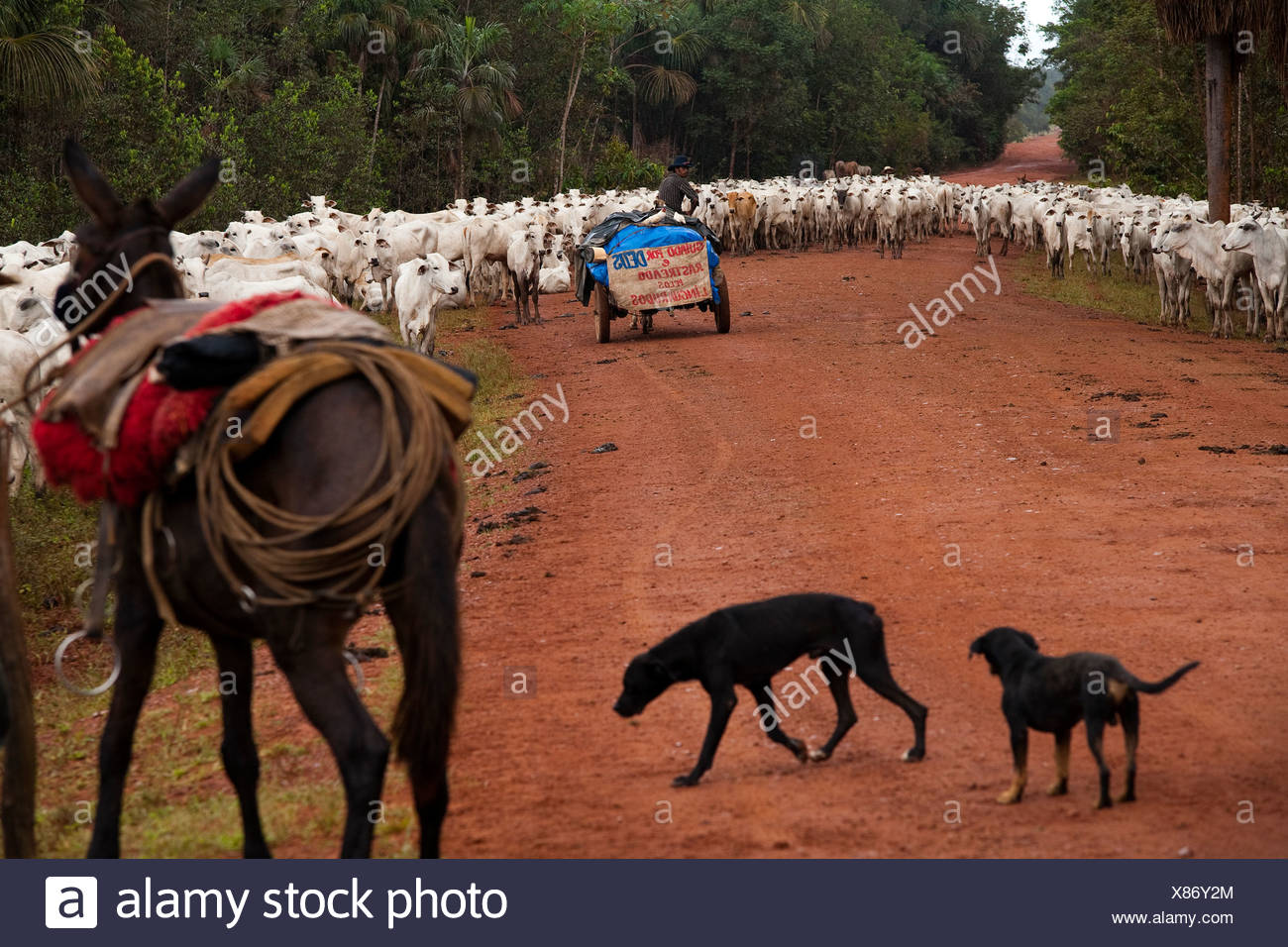 Herd of cattle, BR-163 road ( Cuiabá - Santarém road ) at South Para State, Amazon, Brazil. Stock Photo
