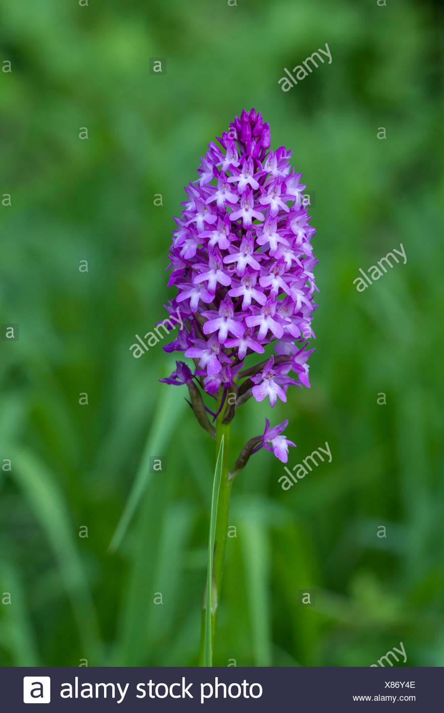 Nature, Flower, Plant, Lila, Violet, Orchidaceae, Anacamptis pyramidalis, Switzerland - Stock Image