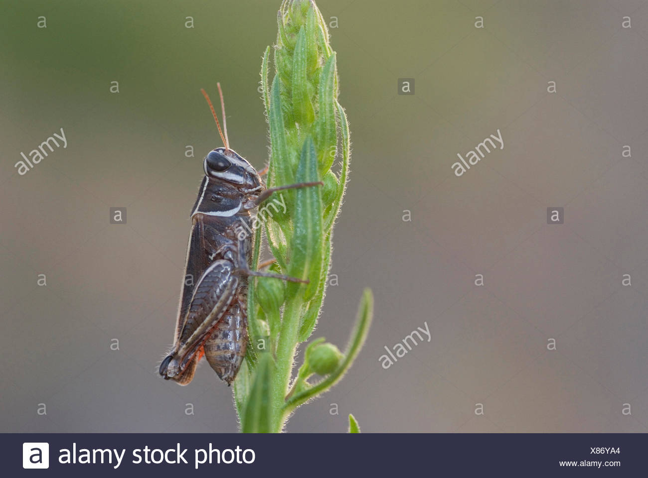 Locust (Calliptamus spec,), on a budding inflorescence, France, Corsica - Stock Image