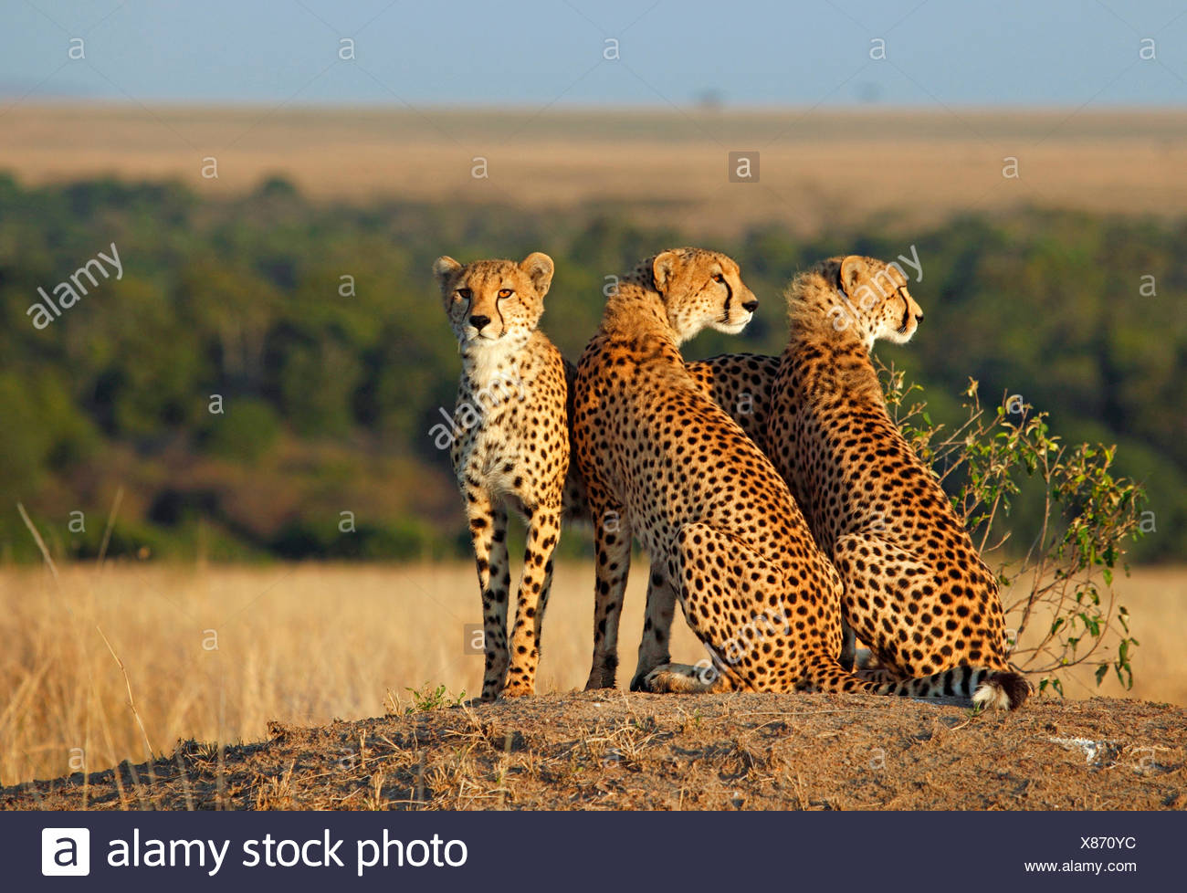 cheetah (Acinonyx jubatus), three cheetahs look out, Kenya, Masai Mara National Park - Stock Image