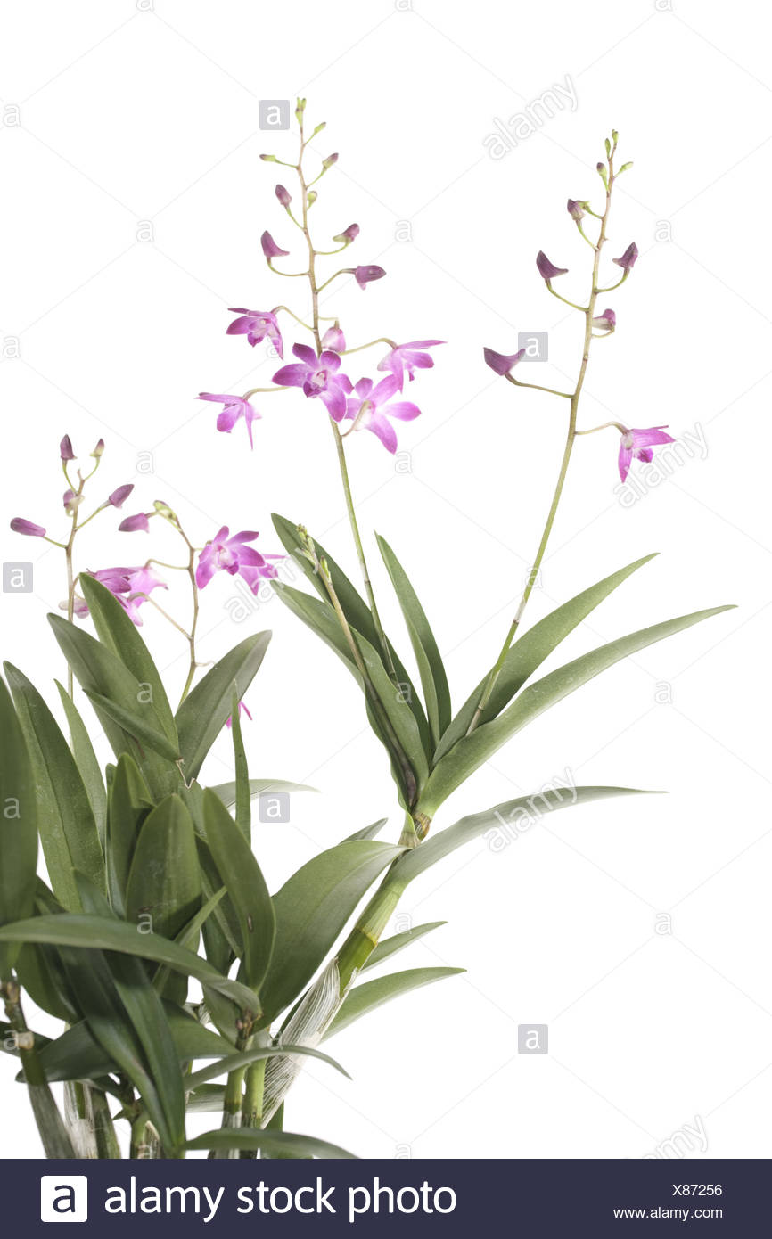 Dendrobium orchid with flowers - Stock Image