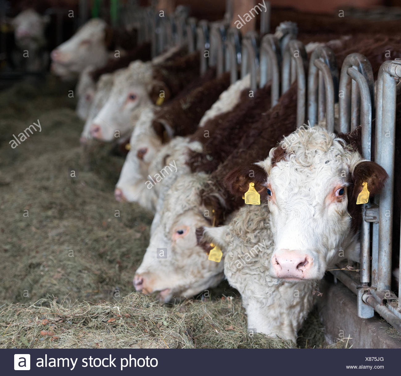 Cows in Stable - Stock Image