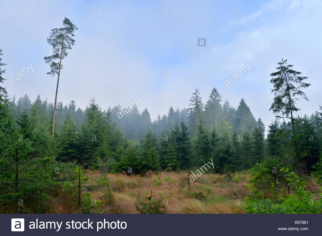 clearing in spruce forestation, Germany, Bavaria, Oberpfalz Stock Photo