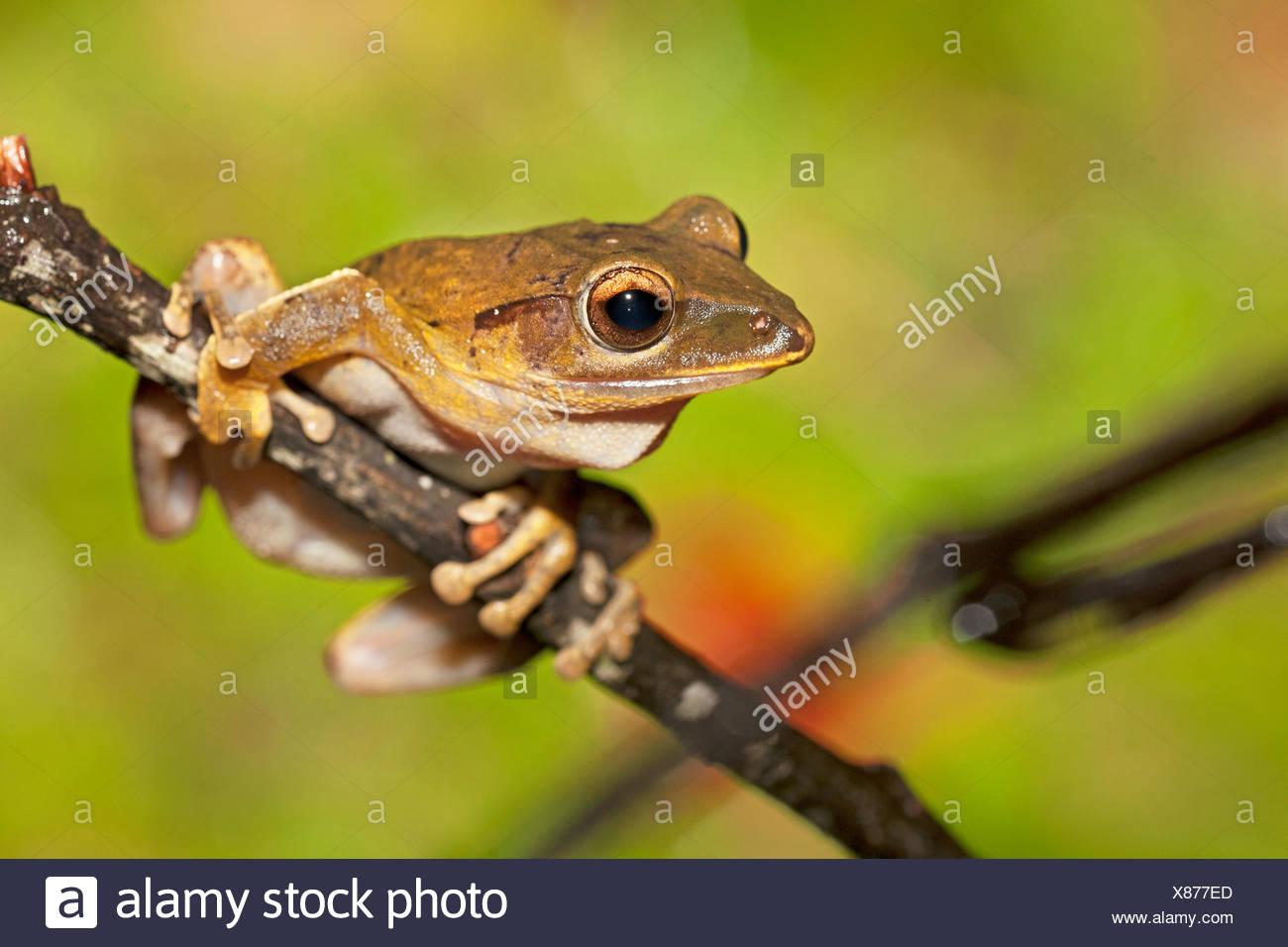 common treefrog on twig - Stock Image