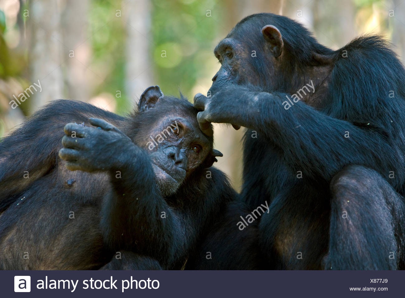 Chimpanzee (Pan troglodytes) being groomed whilst eating