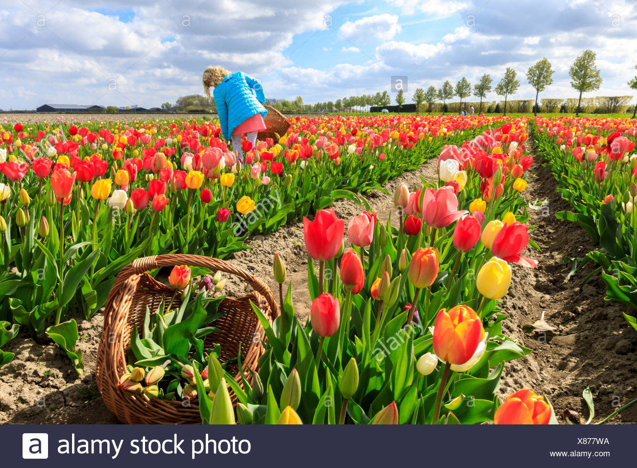 Girl collects the multicolored tulips during spring Yerseke Reimerswaal province of Zeeland Holland The Netherlands Europe - Stock Image