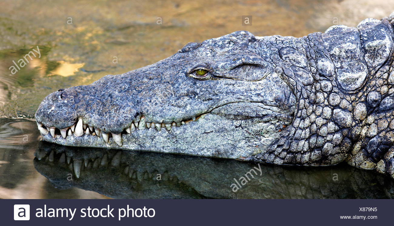 Is the crocodile an amphibian or a reptile