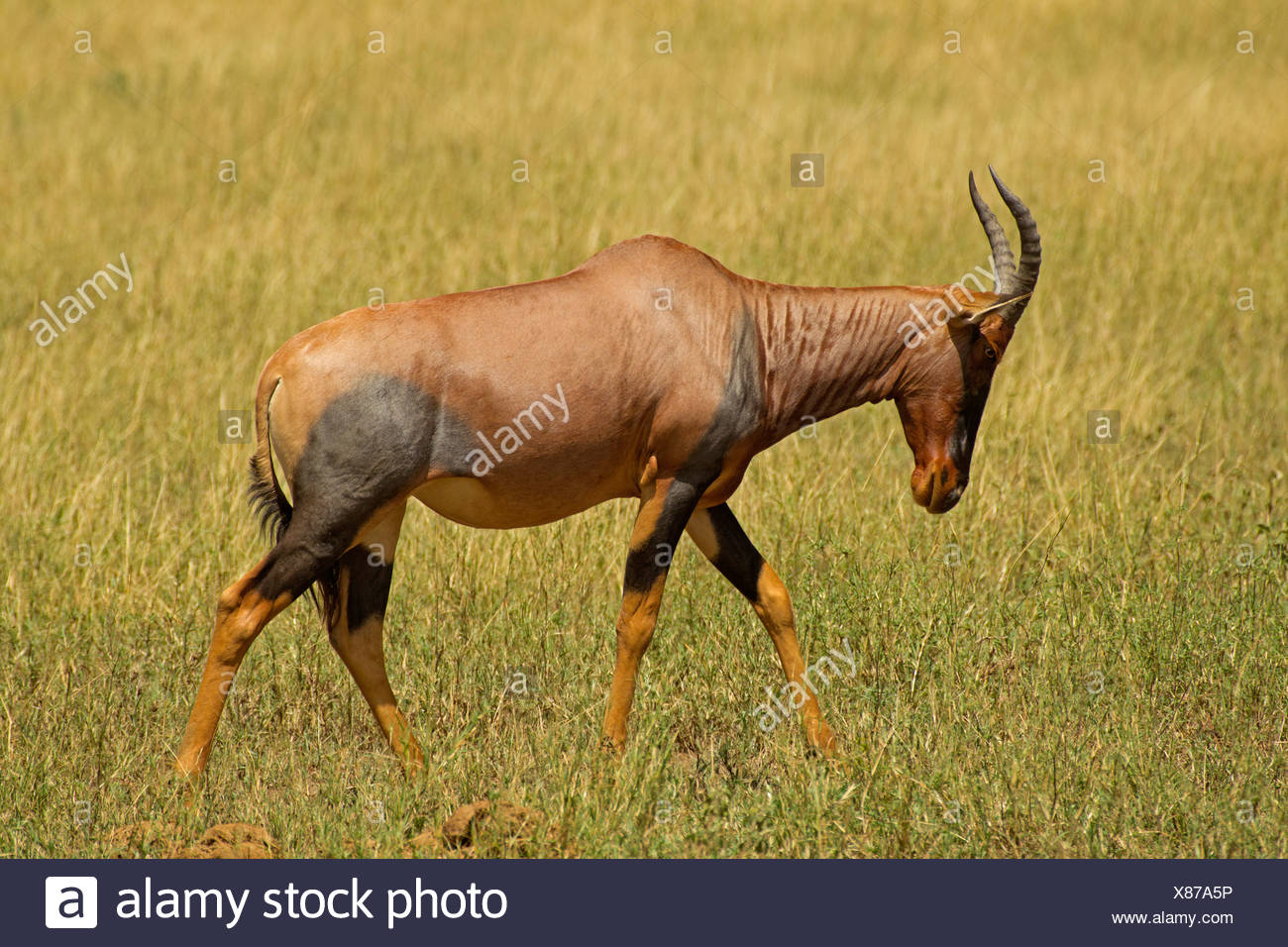 Topi Walking in Red Oat Grass of the Serengeti - Stock Image
