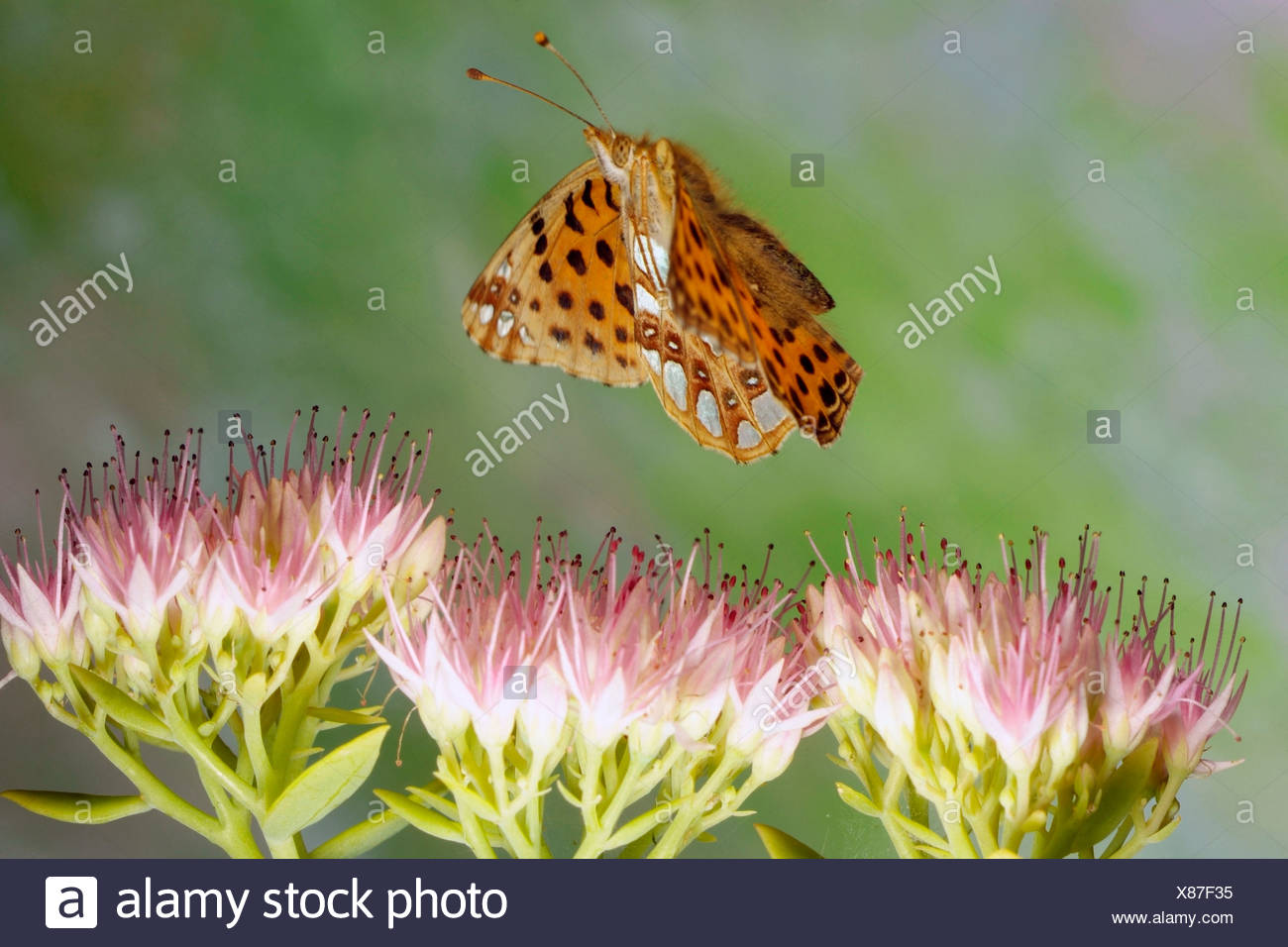 Queen of Spain Fritillary (Issoria lathonia) - Stock Image
