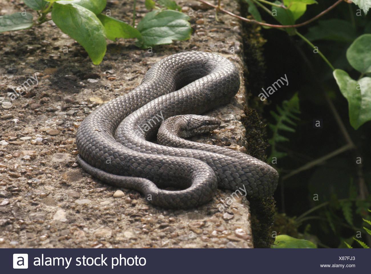 Dice snake - Stock Image