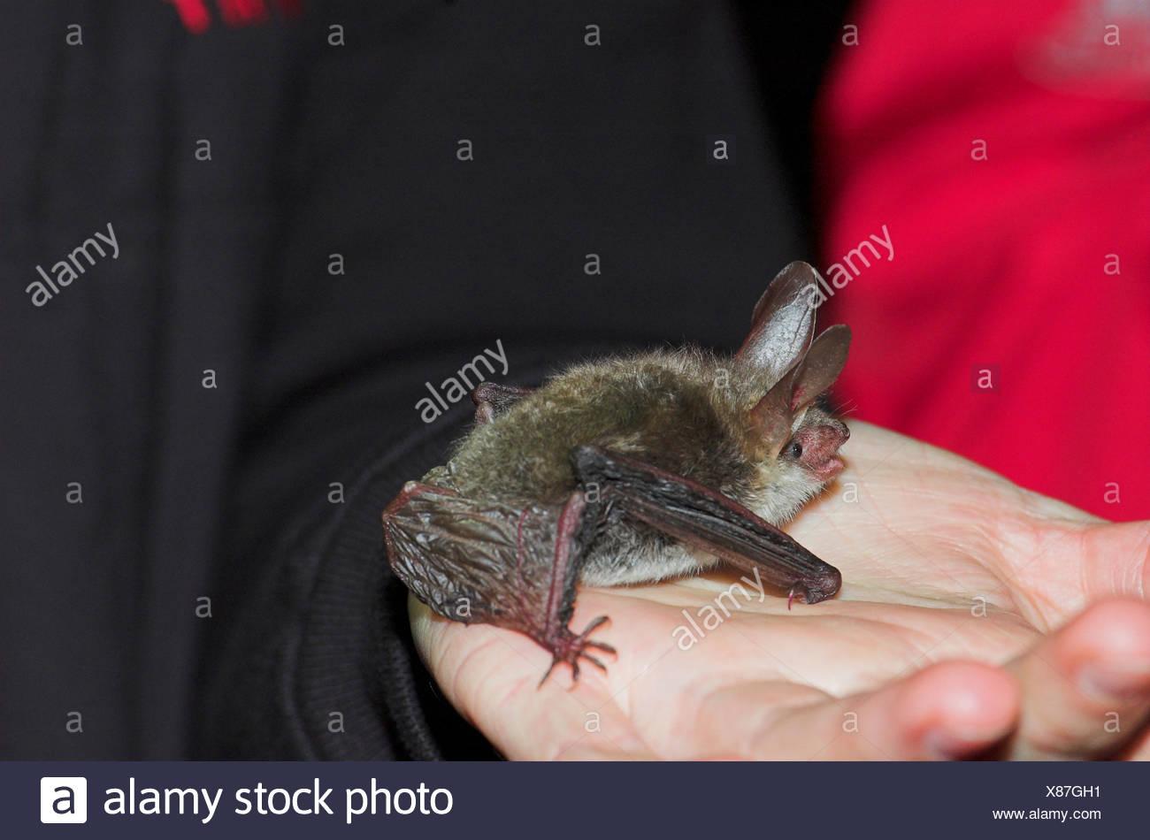 bat (Chiroptera), on a hand - Stock Image