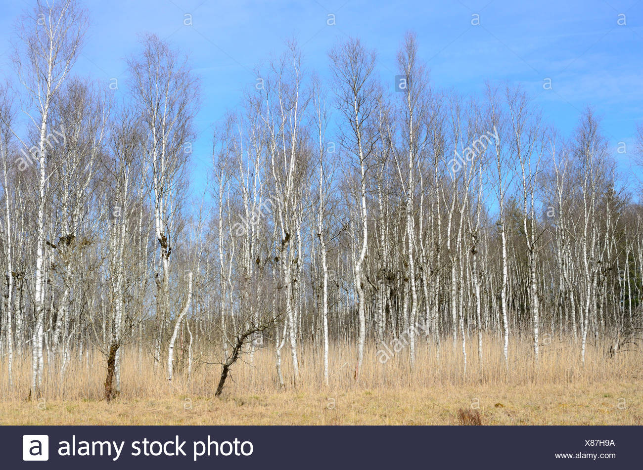Birch-tree, forest, Betulaceae, forest preserve, moorland, nature, reserve, Federsee, Baden-Württemberg, Germany Stock Photo