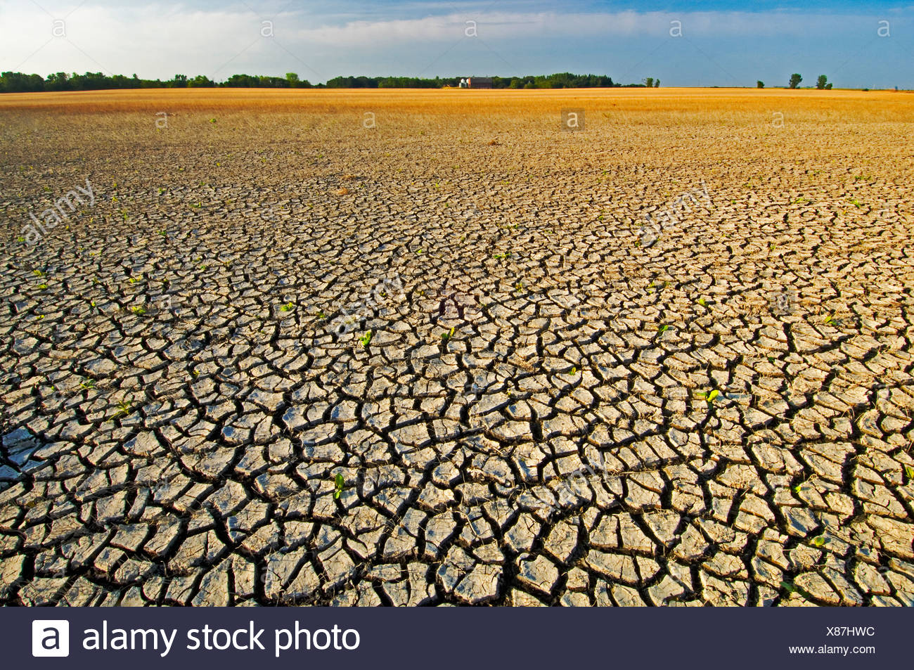 Grain field with cracked mud shows the effects of flooding followed by drought. Reduced grain crop is growing in the background. - Stock Image