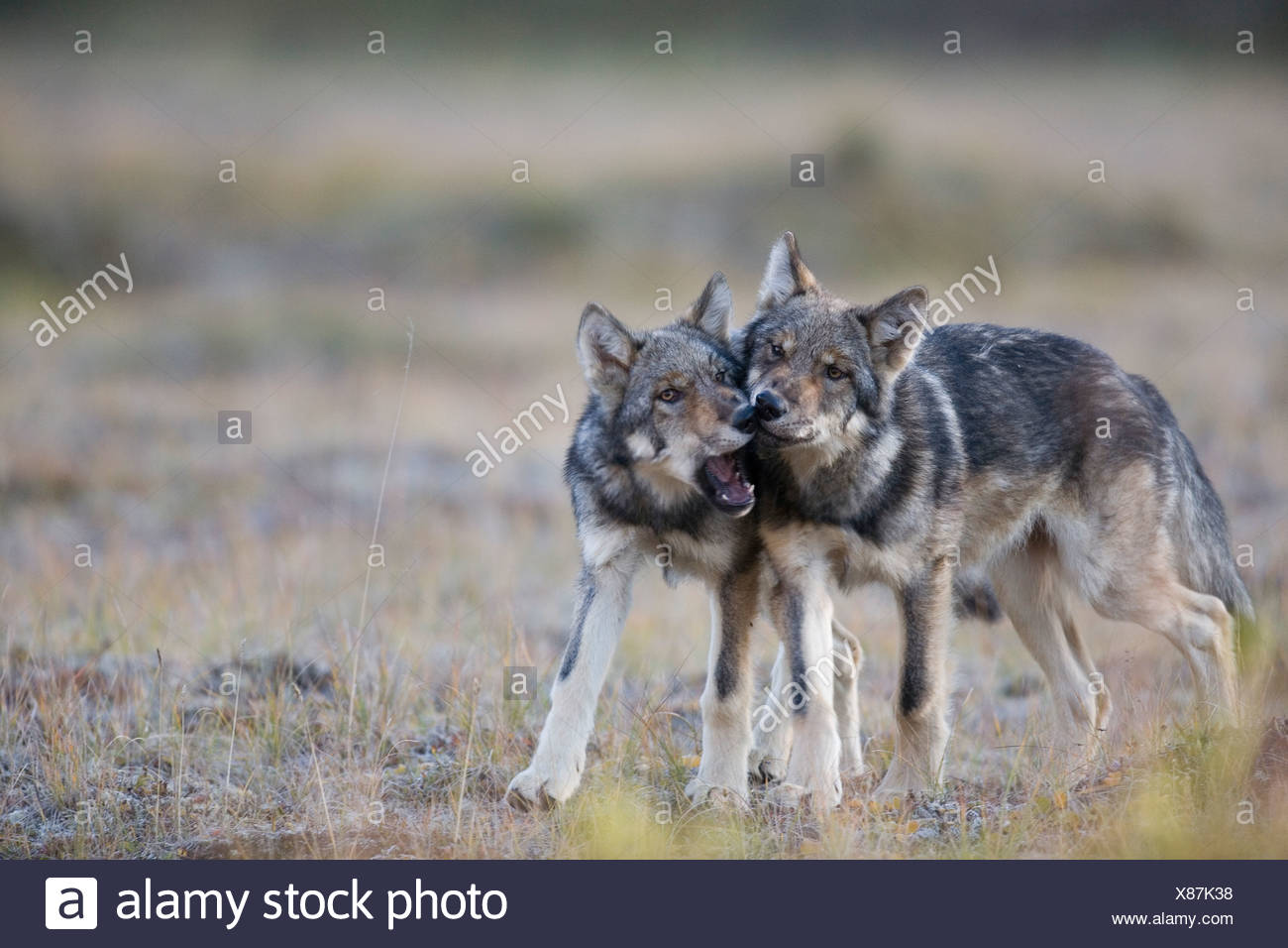 Wolf, Canis lupus, pups of Grant Creek pack play, alpine tundra, autumn, Denali National Park, Alaska, horizontal, wild - Stock Image