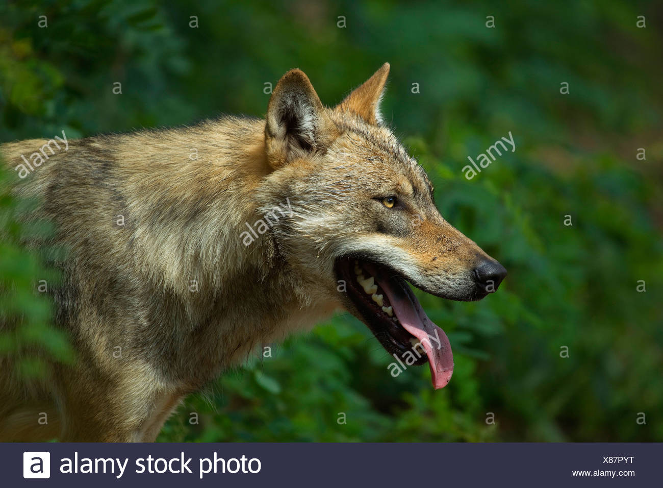 European gray wolf (Canis lupus lupus), panting, Germany - Stock Image