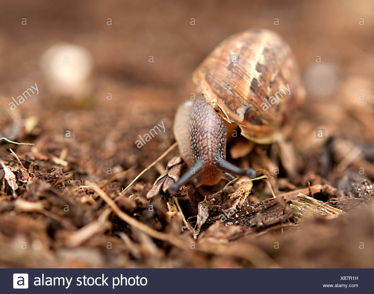 Close-up of a snail - Stock Image