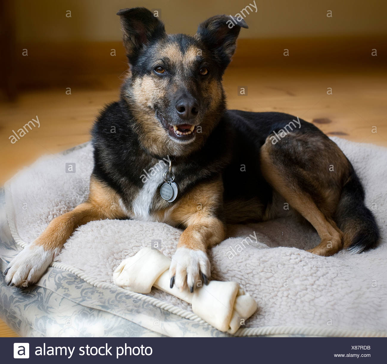 Dog sitting on a pet bed with a chew bone - Stock Image