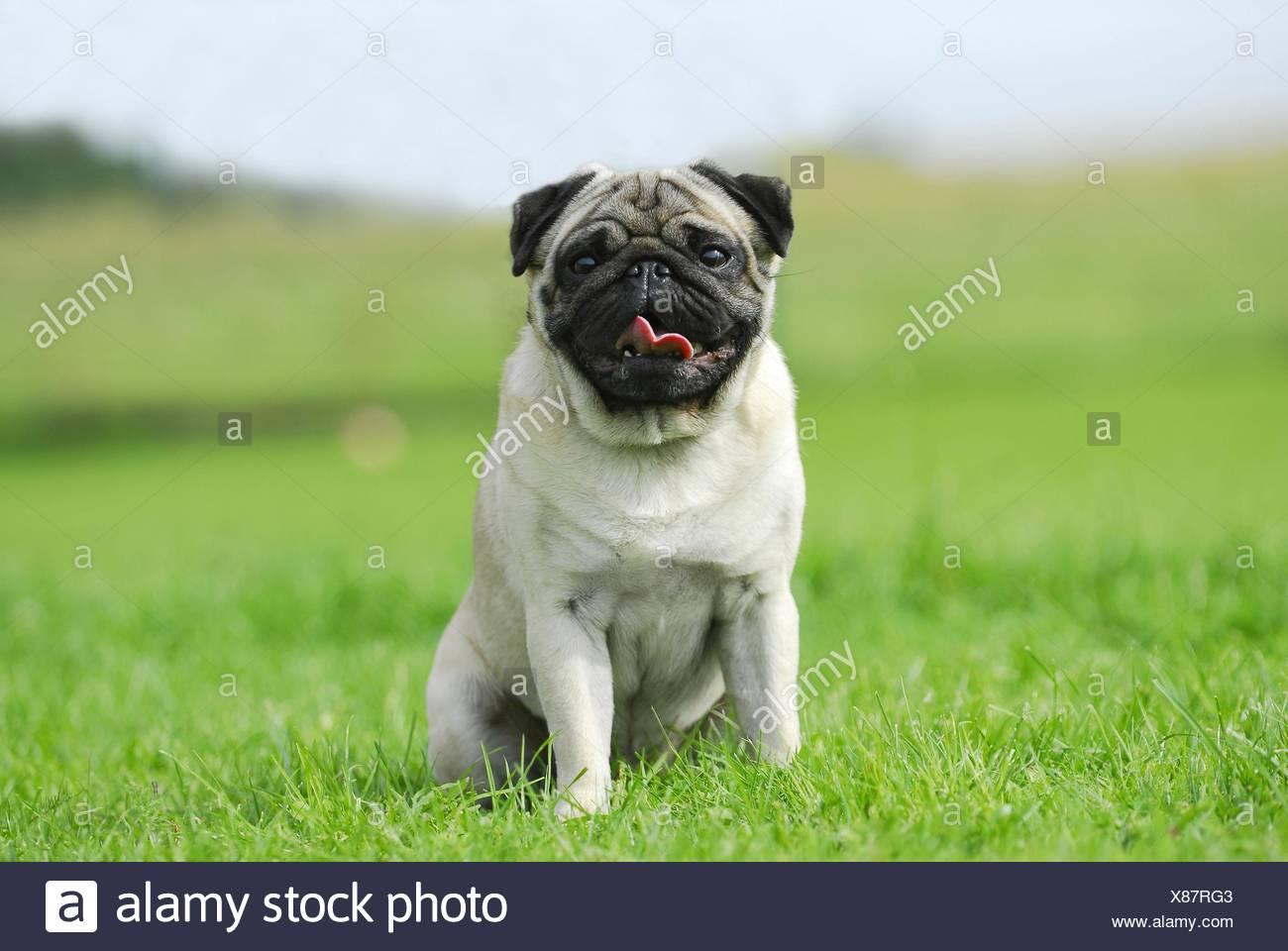 pug - Stock Image