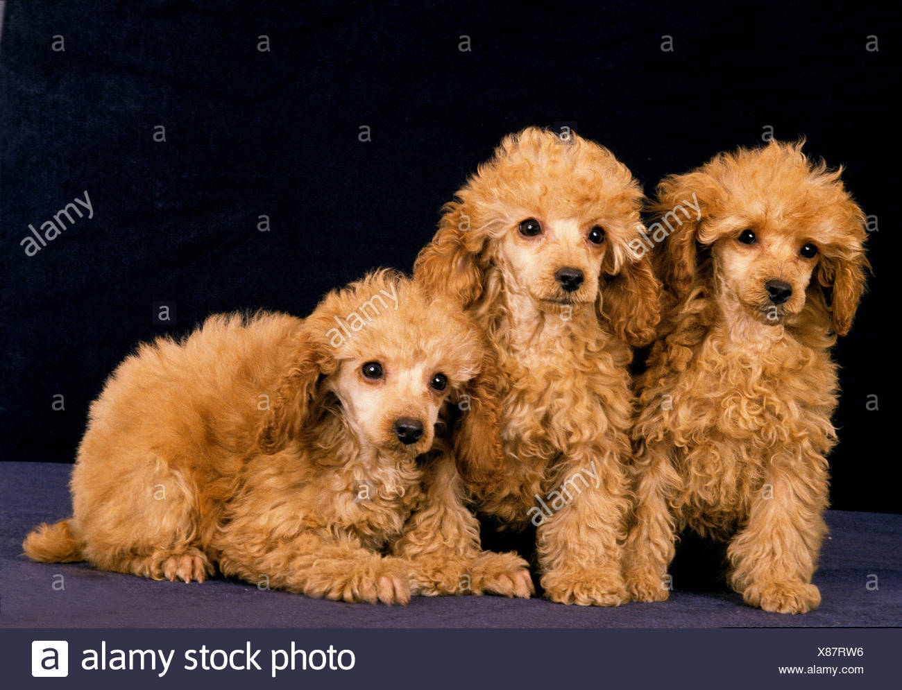Apricot Miniature Poodle, Pups against Black Background - Stock Image