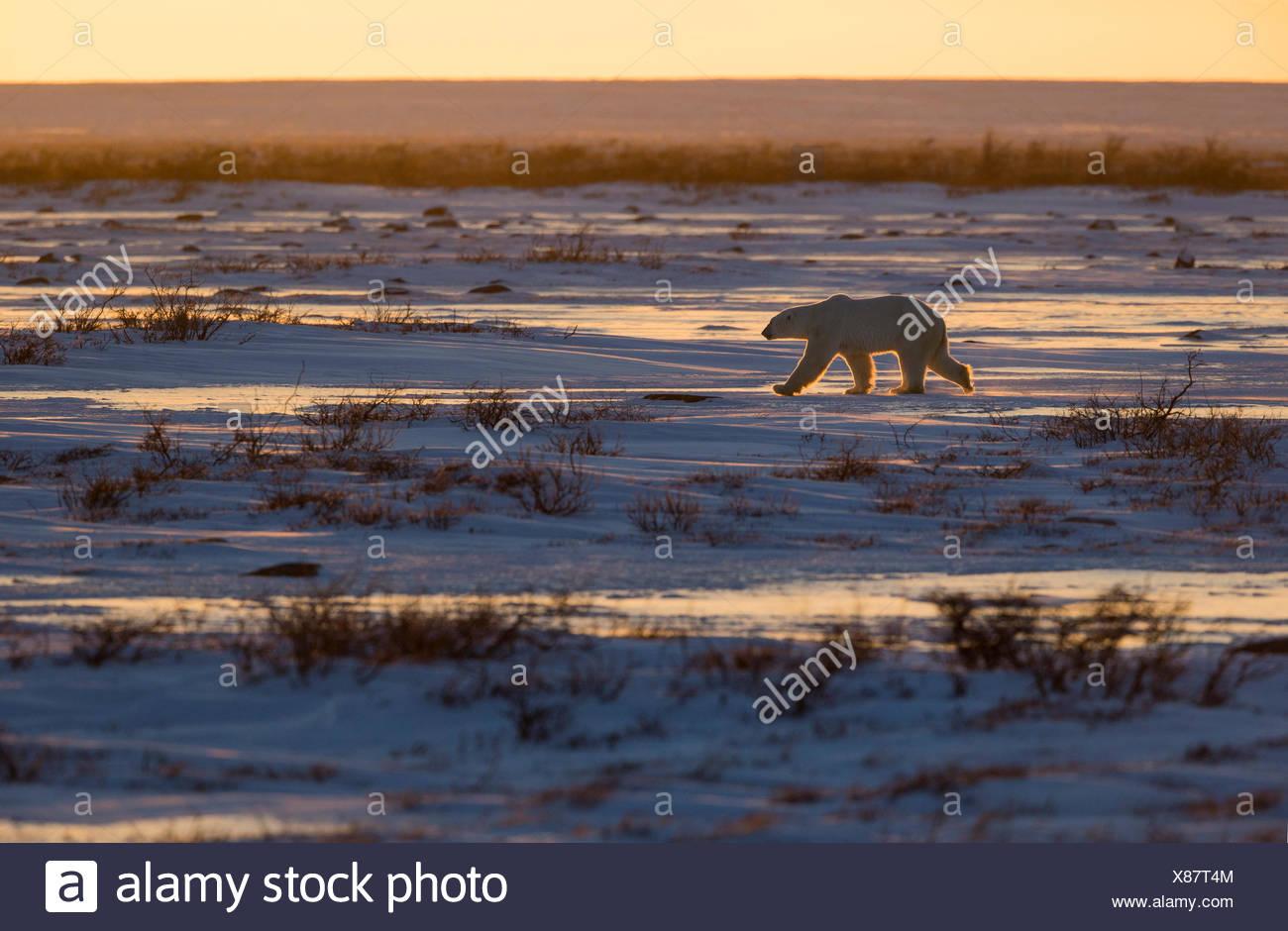 Polar bear (Ursus maritimus), walking over tundra at sunset, Cape Churchill, Wapusk National Park, Manitoba. - Stock Image