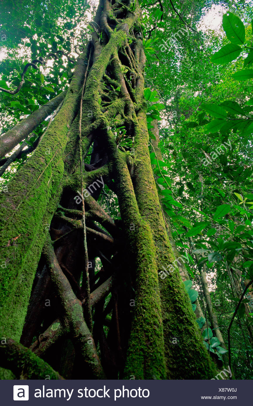 Strangler Fig (Ficus sp.) that has killed its host tree long ago. The host has rotted away, leaving a hollow center. Lowland rainforest in Borneo. Gunung Palung National Park - Stock Image