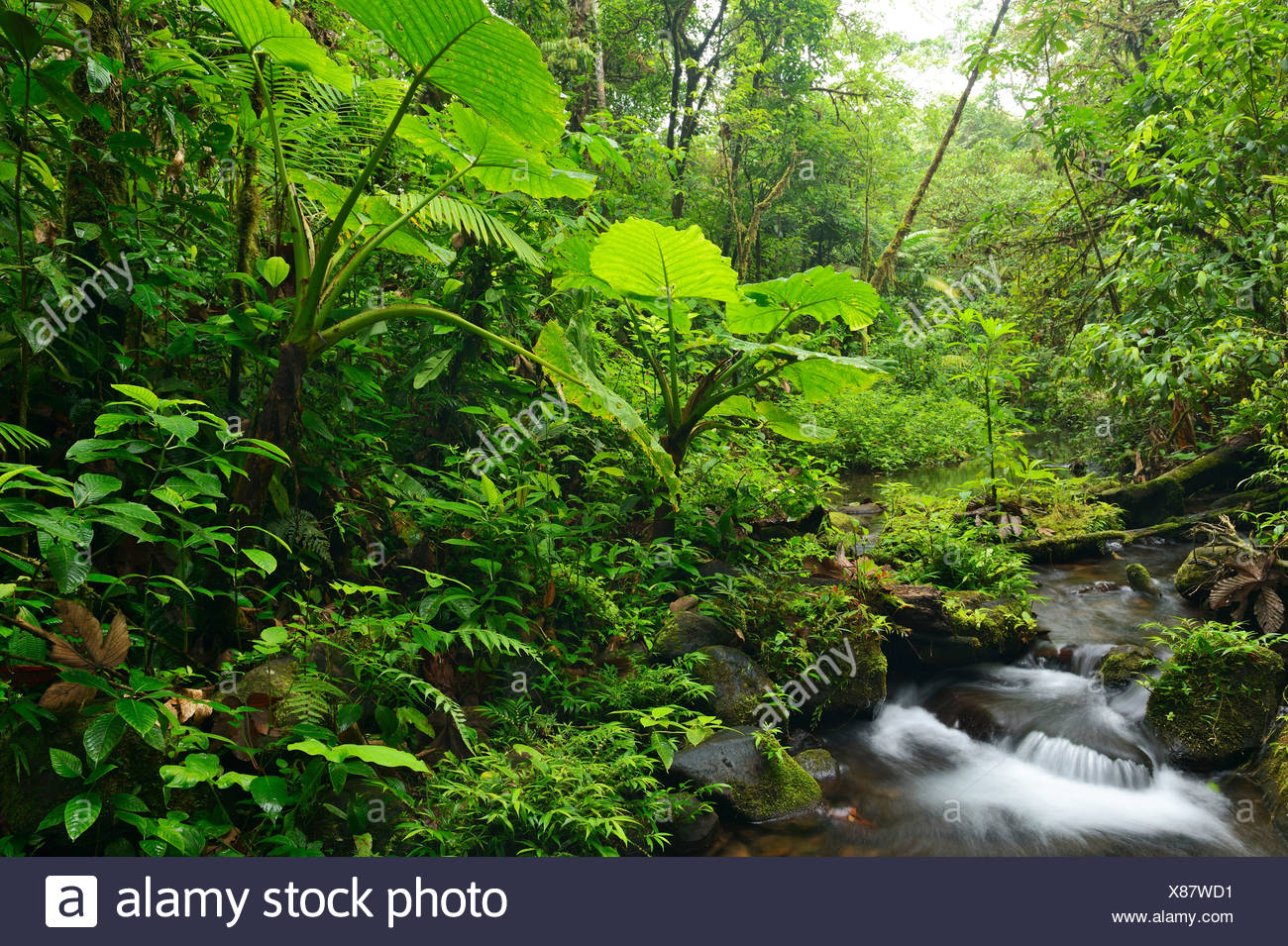 **** Please Check **** Elephant's tongue or 'Shaving-brush (Haemanthus albiflos), growing at a small stream in the Tenorio - Stock Image