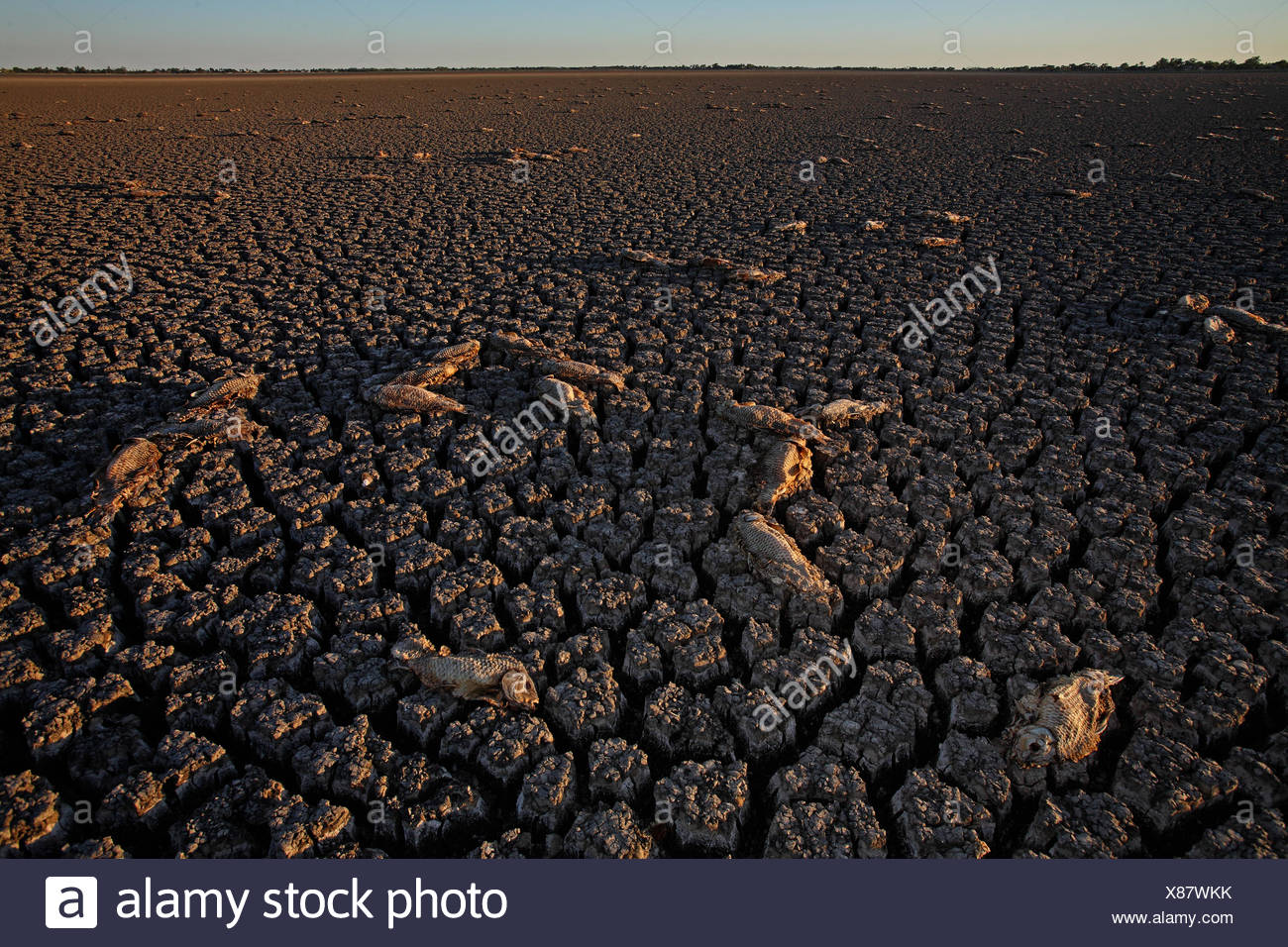 Dead fish lay scattered across the drained lake bed of Lake Boga. - Stock Image