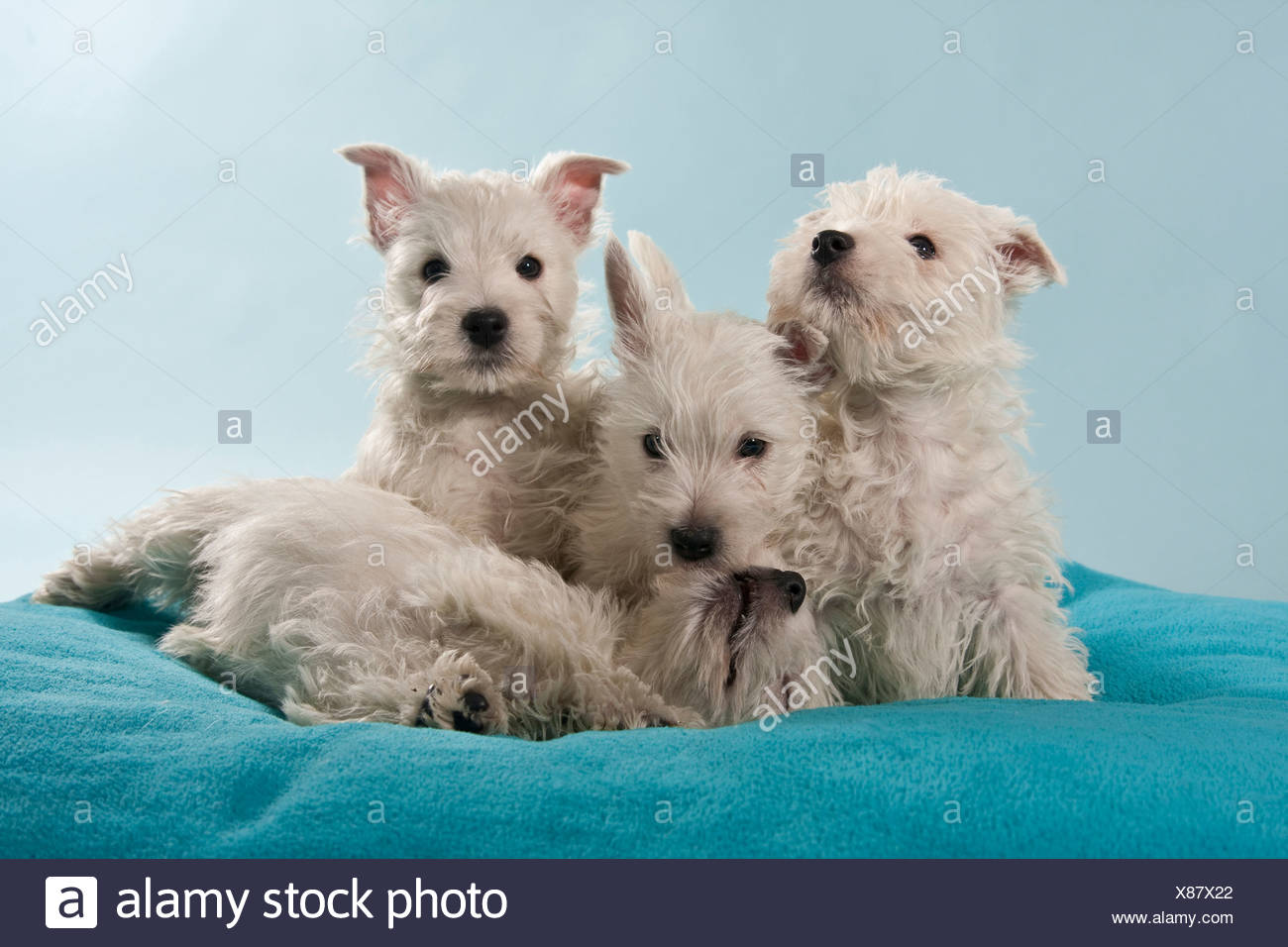 Group of West Highland White Terriers, Westie puppies - Stock Image