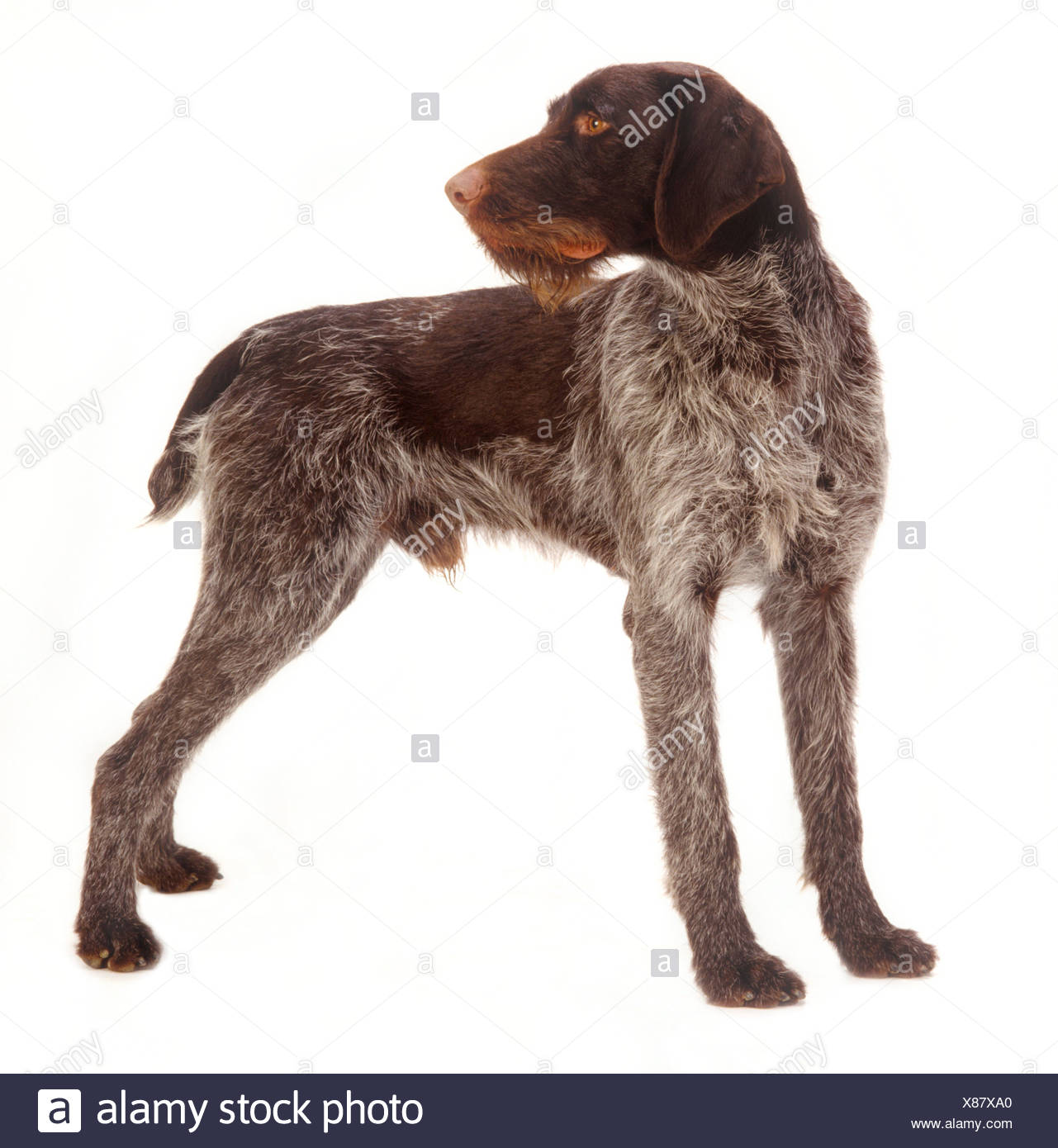 German wirehaired pointer Stock Photo: 280457464 - Alamy