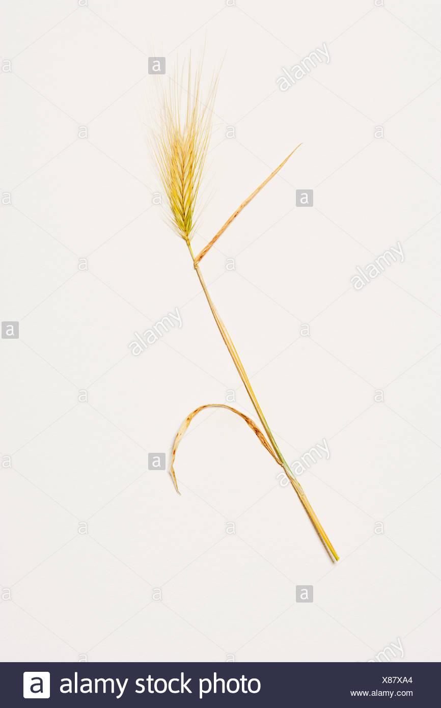 Ear of corn, studio shot - Stock Image