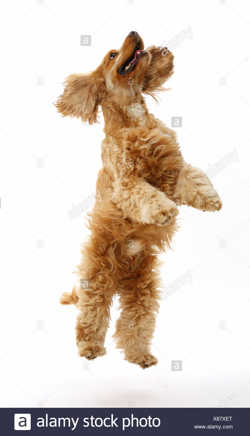 Golden Cocker Spaniel dog, Henry, age 3 years, jumping up. Stock Photo