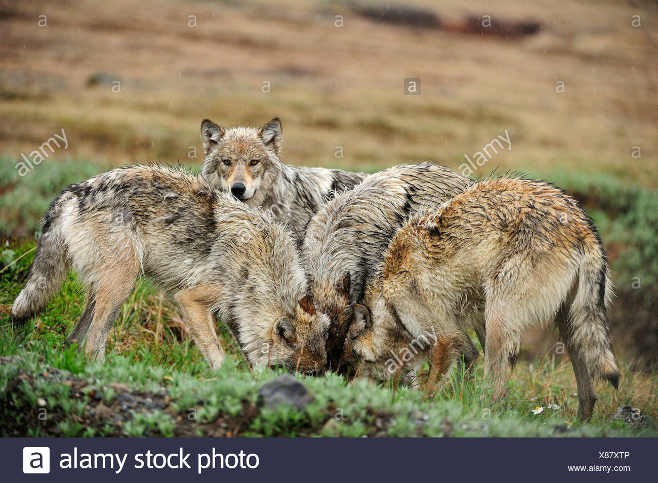 Pack of Wolves (Canis lupus) in the Arctic tundra - Stock Image