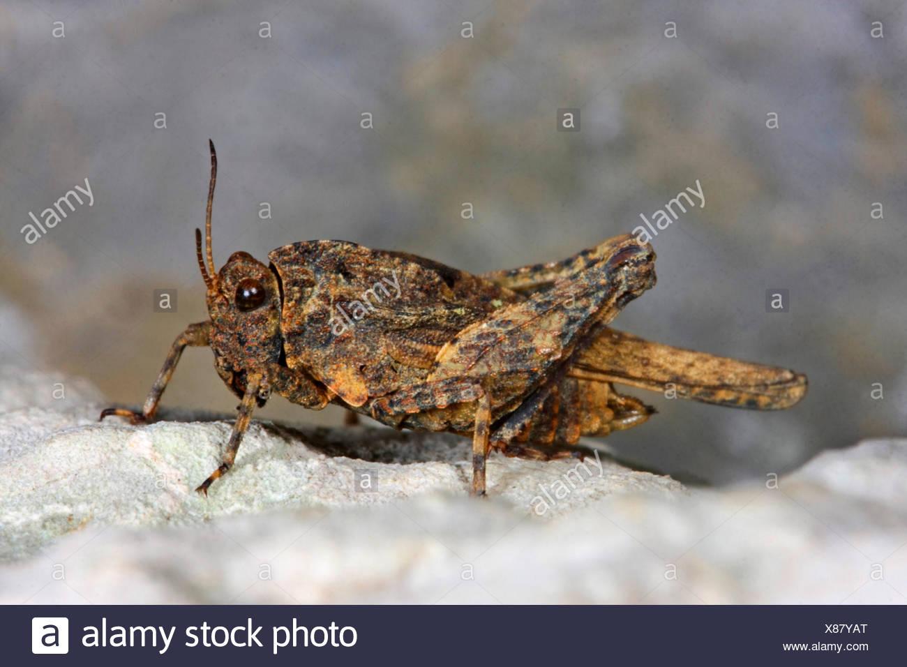 Depressed groundhopper, Flattened groundhopper (Uvarovitettix depressus, Depressotetrix depressa, Tettix depressus, Tettix depressa, Tetrix depressus, Tetrix depressa), sitting on a stone - Stock Image