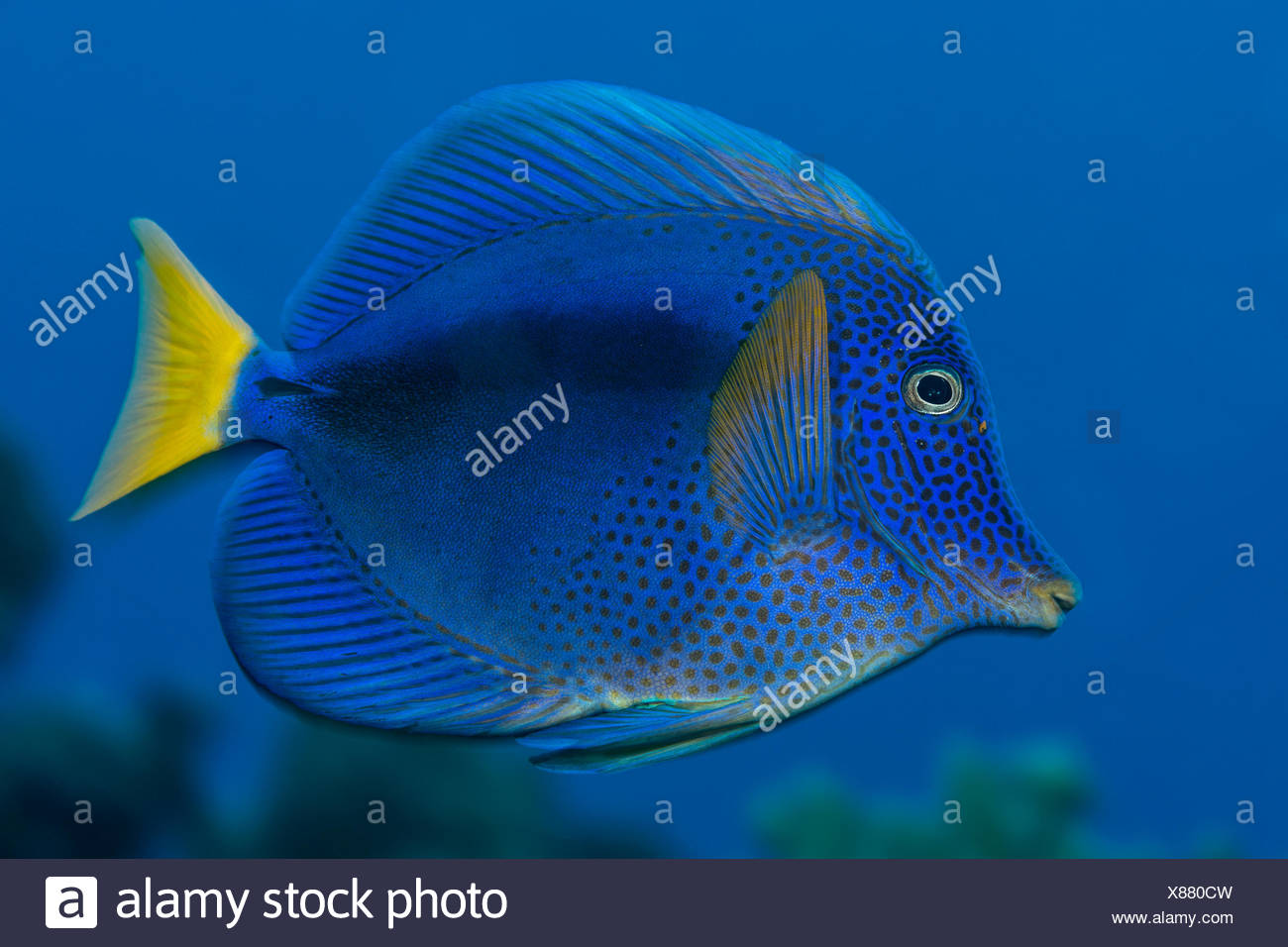 Yellowtail Tang, Zebrasoma xanthurum, Elphinstone Reef, Red Sea, Egypt - Stock Image