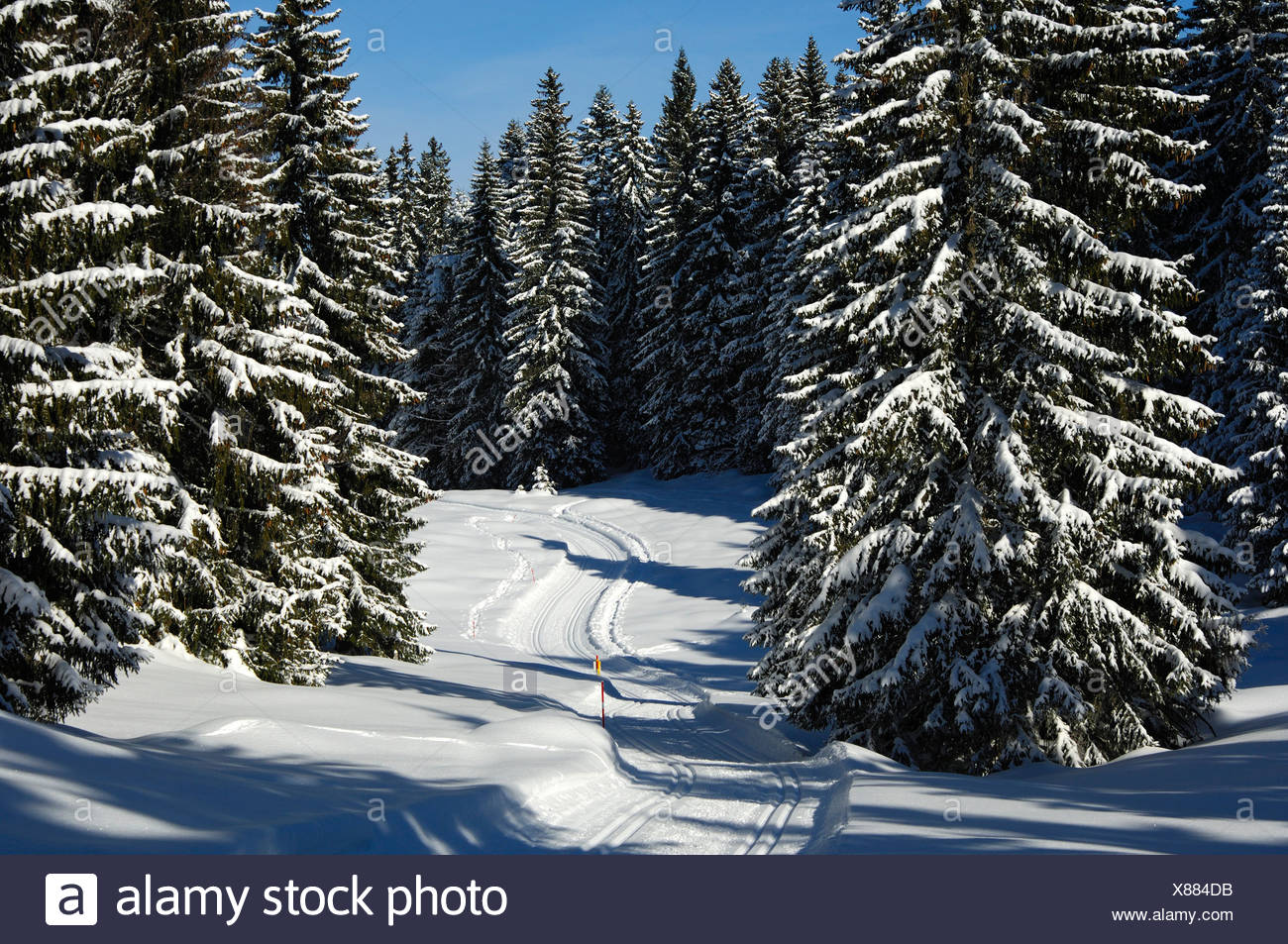 A deserted groomed cross-country ski trail passing through a snowy pine forest in the Jura Mountains, St. Cergue, Switzerland - Stock Image