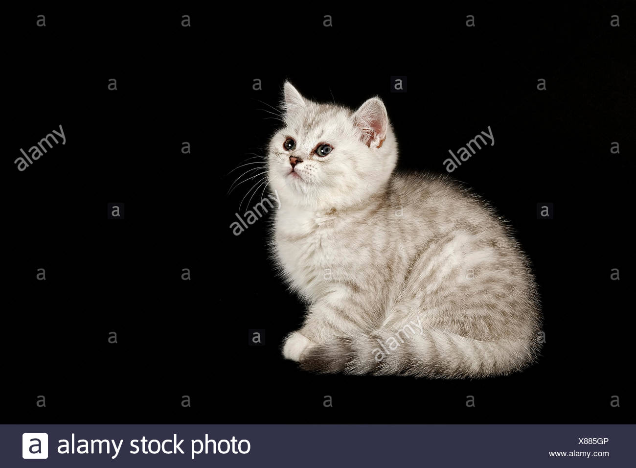 Selkirk Rex Cat Breed Kitten 8 Weeks Fur Colour Silver Shaded