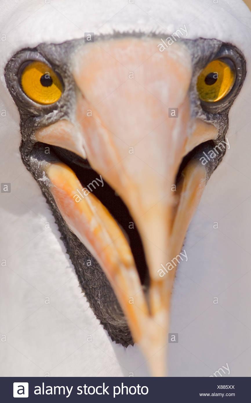 Nazca Booby (Sula granti) perched at a nest site on Isla de la Plata in Ecuador. - Stock Image