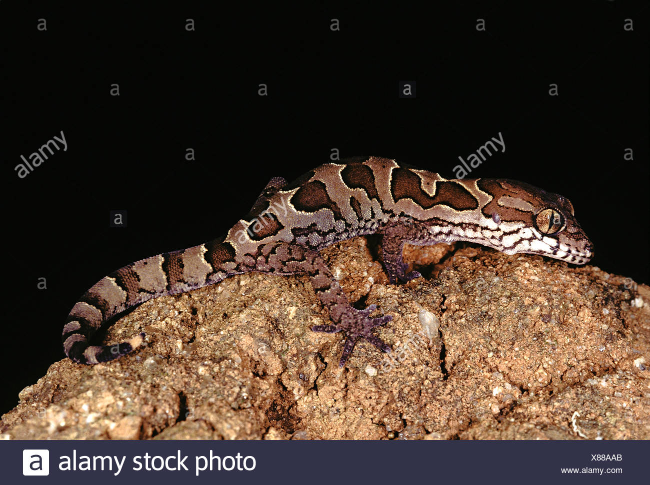 Clouded ground gecko. Geckoella Nebulosa. A ground dwelling gecko found in central India. - Stock Image