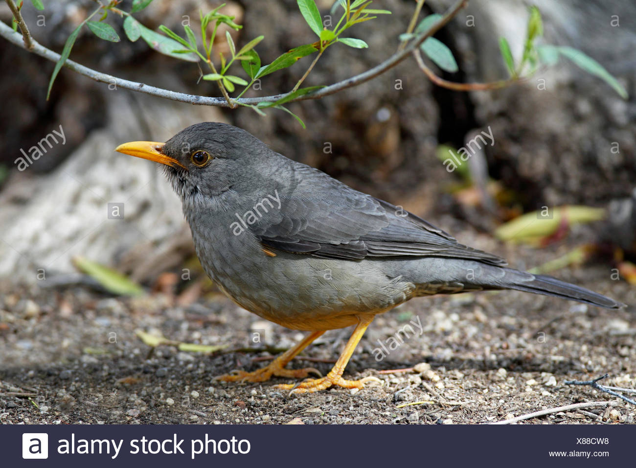 Olive thrush (Turdus olivaceus), standing on the ground, South Africa, Augrabies Falls National Park Stock Photo