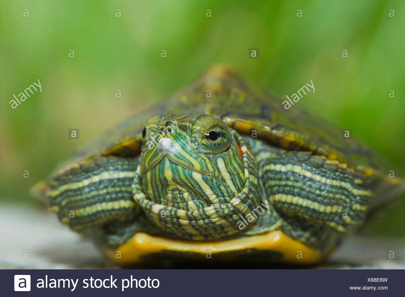 Red-eared Turtle, hatchling, 12 days, with egg tooth / (Trachemys scripta elegans, Pseudemys scripta elegans) / Red-eared Slider - Stock Image