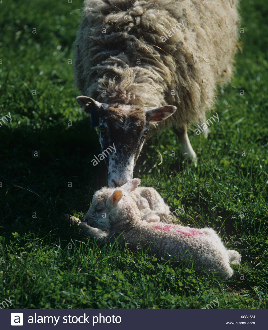 North of England mule ewe licking one of her new born lambs Dorset - Stock Image