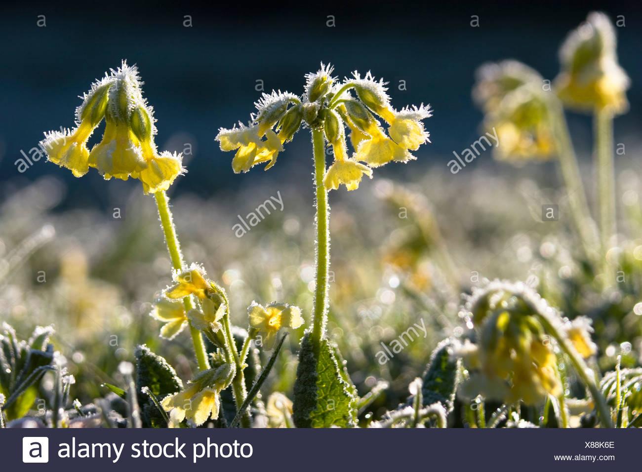Primrose on meadow, Primula elatior, whitefrost, Upper Bavaria, Germany Stock Photo