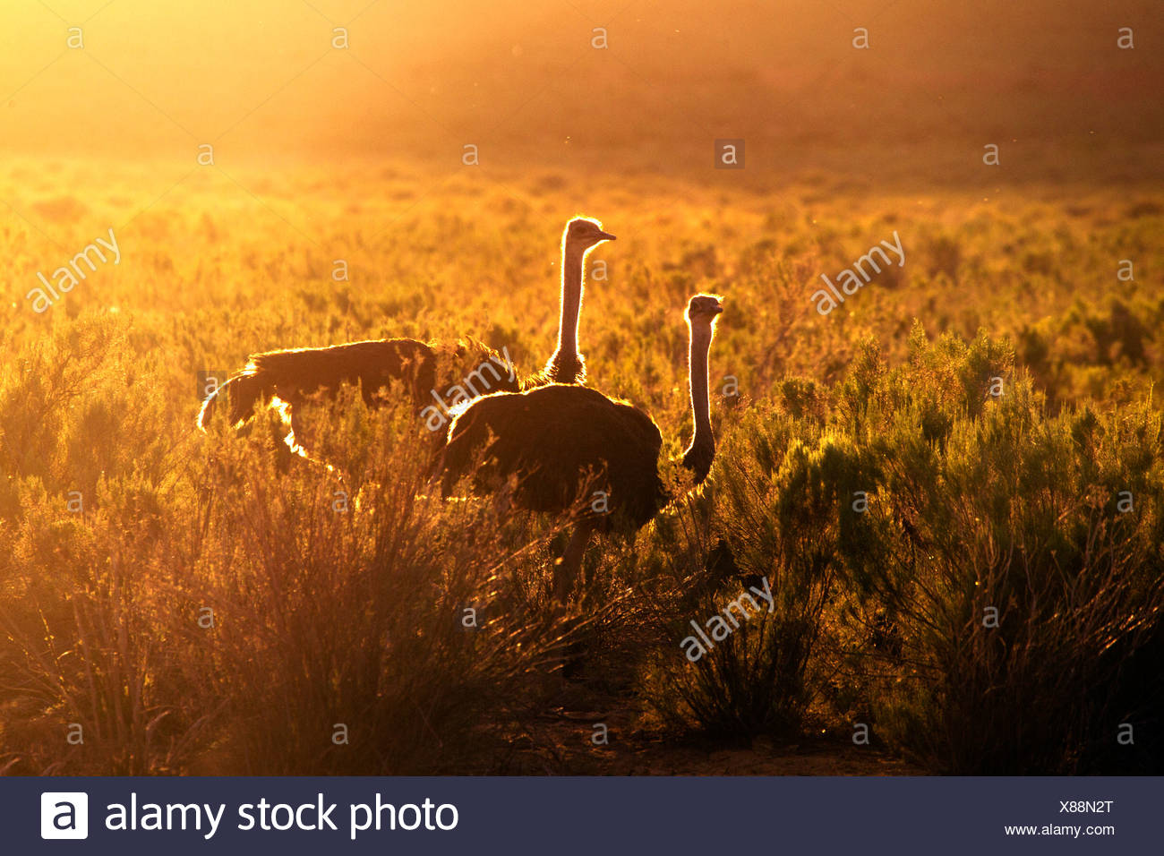 Two ostriches at sunset, South Africa - Stock Image