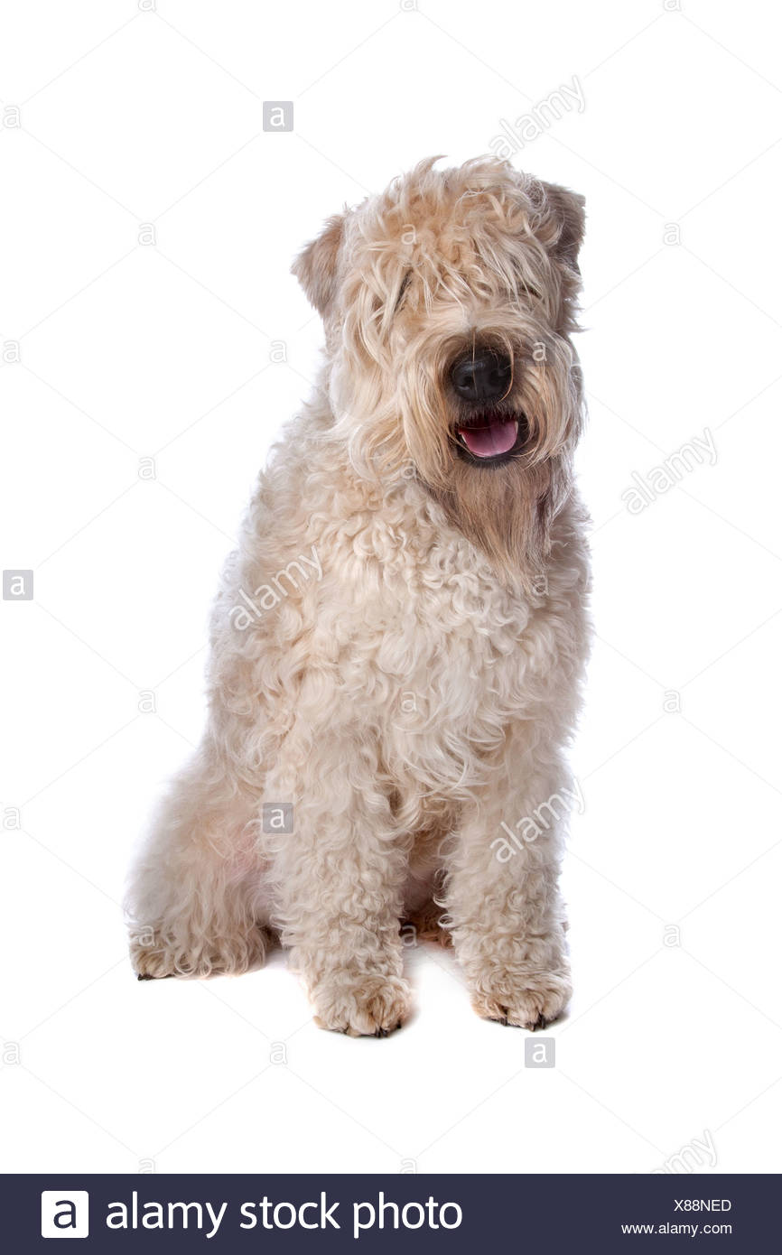 Soft Coated Wheaten Terrier Sitting Stock Photos & Soft Coated ...