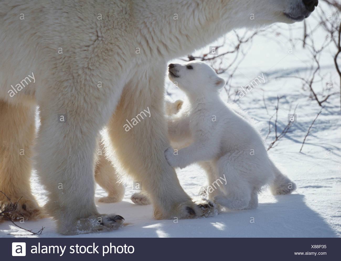 Polar bear cub begs from mother, Manitoba, Canada - Stock Image