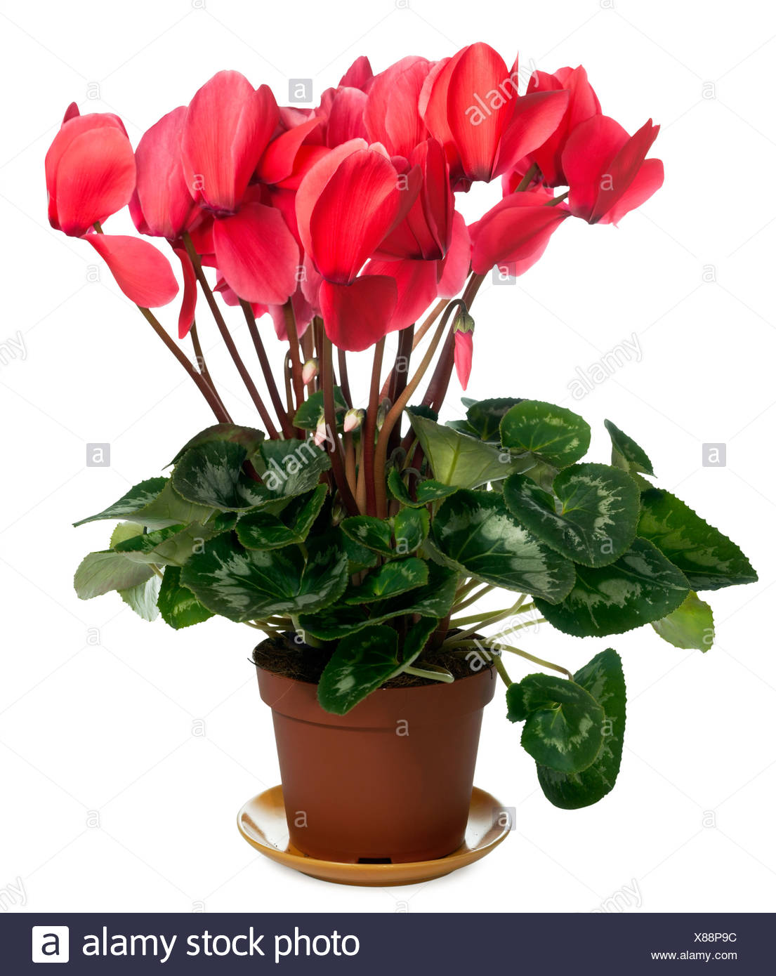 Cyclamen plant - Stock Image