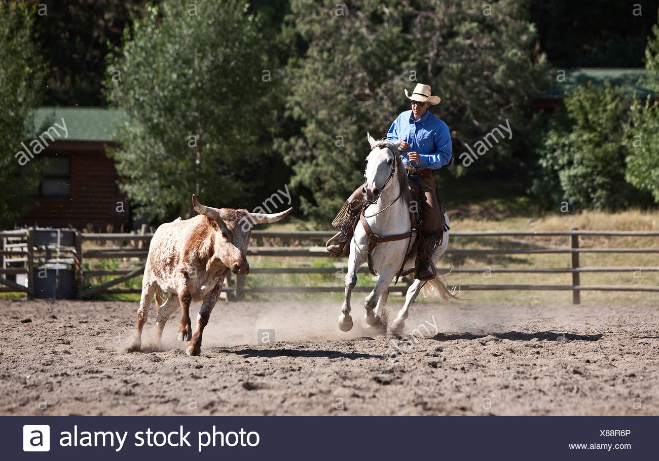 Cowboy wrangler moving cattle in corral, ranching, Montana USA Stock Photo