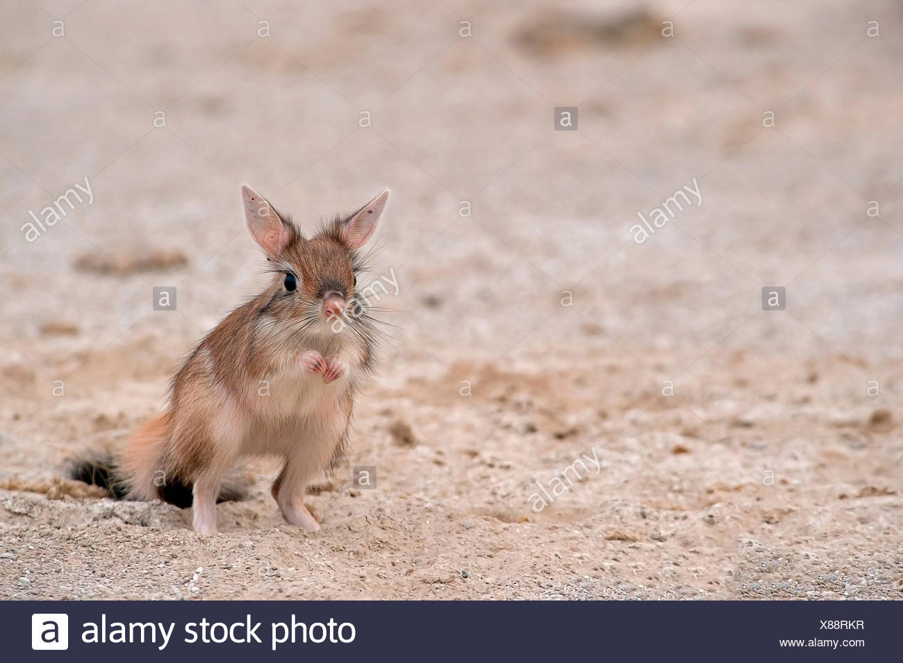 Amboseli Park, Kenya, Africa The Springhare or Cape hare jumper is a small mammal rodent that moves almost exclusively at night, Being able to photograph the light of day is a rarity - Stock Image